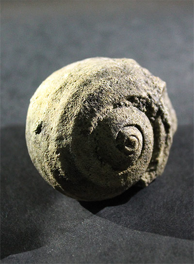Snail fossil